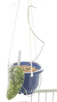 ツル性の植物の葉が出ない。 スキンダプサスを今年の冬に買ったのですが成長期を終えたこの秋になってもツルばかり伸びて一向に葉をつけてくれないのです。これは徒長なのでしょうか?育成環境はベランダで吊るしています。遮光率は70%です。水は乾いたらあげています。肥料は観葉植物のプロミックを鉢の大きさ分置いています。葉は一枚しかなくもう古い葉です。このまま一枚しかない葉が枯れると、このスキンダプサス株...