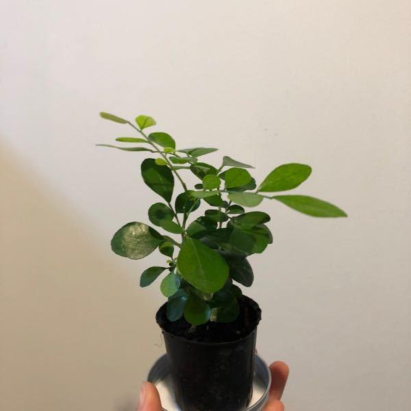 100均でこの植物を買ったのですが、 何という名前の植物でしょうか? タグやプレートのようなものはついていなくて…。 どなたかご教示いただけないでしょうか