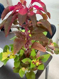 この植物の名前わかる方教えてください!