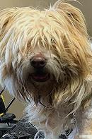 この犬の犬種はなんですか? 毛が伸びすぎちゃったんですか? どういう状態か気になります こっちは写真の犬がトリミングしてもらってる動画になります https://youtu.be/pxdthePsY8o