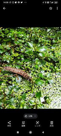 メダカのビオトープに居ました、水面の水草を伝って中ほどまで来て水草の葉を食べていました。何の幼虫でしょうか?