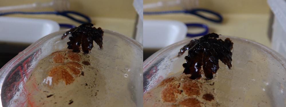 これ何の卵だか解りますか? おそらく水生昆虫が飛来して散乱したのだと思いますが、ベランダビオトープの中に有りました。 上に有る黒い物体は潰れてますが円柱状のカプセルで、中に粘液に囲まれた下にある...