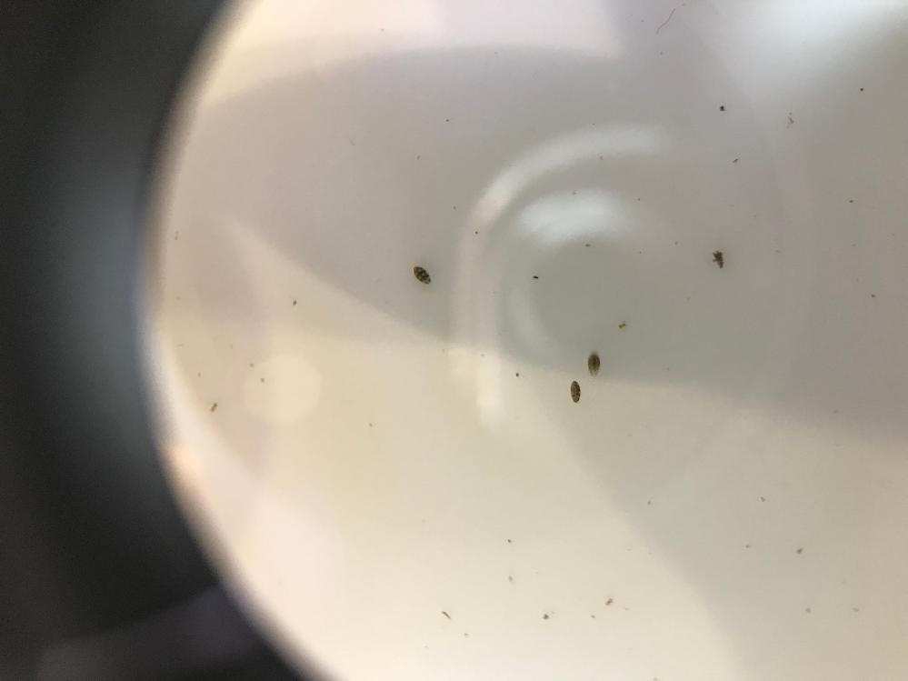 室内水槽に小さな黒い虫が多数発生しました。 この虫の名前が分かれば教えて頂きたいです。 大きさは1mm無いぐらいで、動きが早く、レイアウトの岩の上を素早く走っていたり、水中を泳いでいたりしています。 ルーペで見たんですが、若干縞々模様がありそうです。 水槽内をざっと見ても50匹以上いそうで・・・ちょっと気持ち悪いです。 よろしくお願いします。