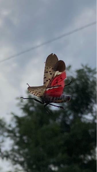 この虫の名前、分かる方いらっしゃいますか? この虫の名前、分かる方いらっしゃいますか? 去年まで見なかった虫なのですが、 今年になって家の周りでたくさん見るので気になっています。 蛾なのかな?と思っていますが… どなたかよろしくお願いいたします。