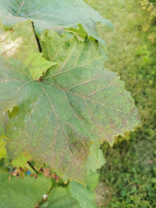 ぶどうの病気についての質問です。 先週通販でシャインマスカットの3年生の苗木を購入しました。 植え付けて1週間ほどで長雨が続いたせいか、葉が黒くなってきてしまいました。 一枚だけでなく3割ほどの葉の色一気に黒くなっており、とりあえずベンレート水和剤を散布しましたが、何という病気なのでしょうか?