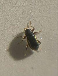 なんと言う昆虫でしょうか。 体長3mmくらいです