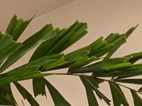 店舗にインテリアとして飾っている観葉植物の葉先が、1枚1枚、全て手でちぎられていました。 素朴な疑問ですが、観葉植物の育て方に、手でちぎった方が良いとあるのでしょうか? それとも、ただ単にハサミで丁寧に切らなかっただけと思われますか?