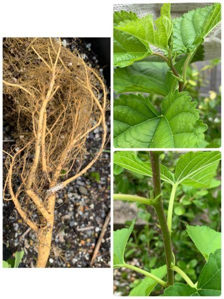 これはなんと言う植物ですか?? 根っこは黄色っぽかったです。膝丈くらいありました。右下の写真みたいに茎に点々がありました。