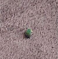 この虫分かる方いますか? 昨日、洗濯物にくっついてたようで 子供が叩いて殺したのですが、 裏のボディが真っ黒でした。  カナブンとかコガネムシは裏側も 緑だった気がするので気になります。