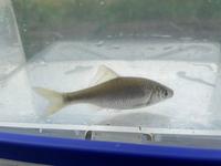 近所の支流で魚が釣れました。 霞水系です。この魚は何という名前でしょうか?多分タナゴ系だと思うのですが、正式名称を知りたいです。