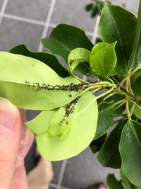 庭のソヨゴの木の新芽の裏にびっしりと小さな黒いダニのような生き物がいます。ソヨゴは元気がないようで、枯れている葉もみられます。この虫はなんでしょうか? 1ヶ月前に植えたばかりの木ですが、元気がないのはこの虫が原因ですかね?