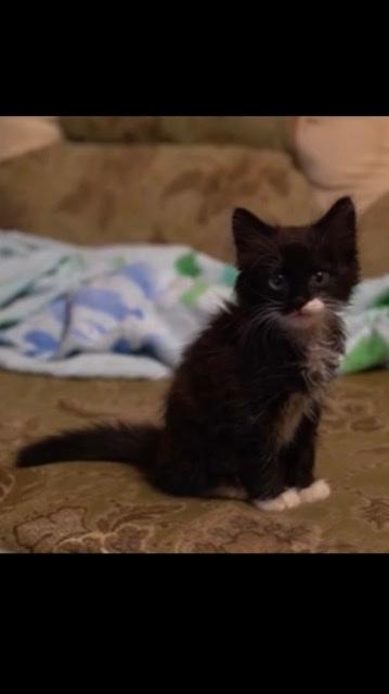 YouTubeでロシアの猫動画を見ていたら、写真の様な子猫を見つけました。何と言う種類の猫か、分かる方教えて頂きたいのですが。 よろしくお願いいたします。
