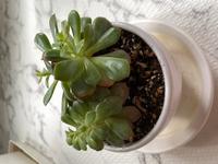 この植物の名前を教えてください! ホテルで記念に頂いたものなんですが、どういう育て方してあげたらいいのかわからなくて...。2本同じ鉢に植えてあって少し大きくなってきたのですが別の鉢に分けてあげたほうがいいのかも教えて頂きたいです!