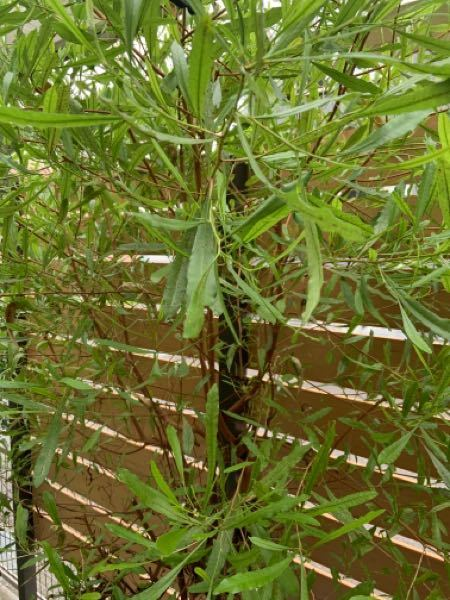 この低木の名前がわかりません。 ご存知の方教えてください。 若干紅葉して落葉します。 15年ほど前に植木屋で買って植えましたが成長が早くて剪定しまくっています。