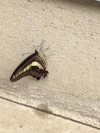 この蝶々の名前わかる方おられますか?