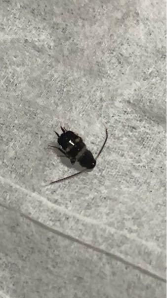 この虫は何でしょうか? 大きさは2〜3ミリ程度です。