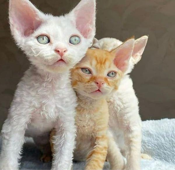 この猫はどうしてこんなに毛がパヤパヤしてるんですか??種類わかる人います?