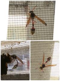 この蜂は何蜂ですか。その蜂の女王蜂でしょうか、巣作りしてるみたいです。分かりにくいと思いますが、網戸と窓の間の窓に土のような巣があります。 居なくなっては、また20分後くらいに、土の塊のようなものを運んできます。