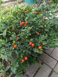 この植物の名前を教えてください。  祖母の家の玄関先に育っていますが、なんなのかわかりません。  よろしくお願いします。