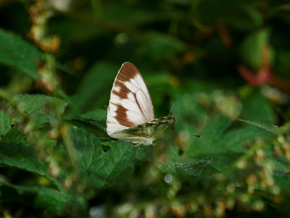 これは何という蝶でしょうか?よろしくお願いいたします。