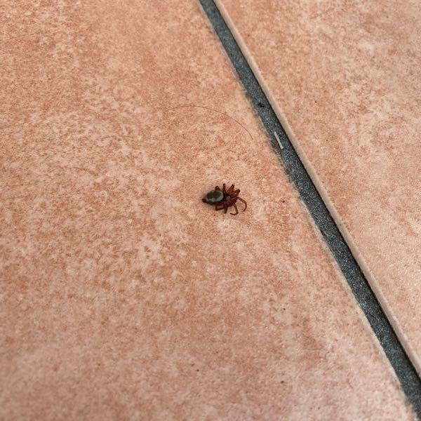 変わった蜘蛛を見つけました。 こちらはなんて名前の蜘蛛でしょうか?