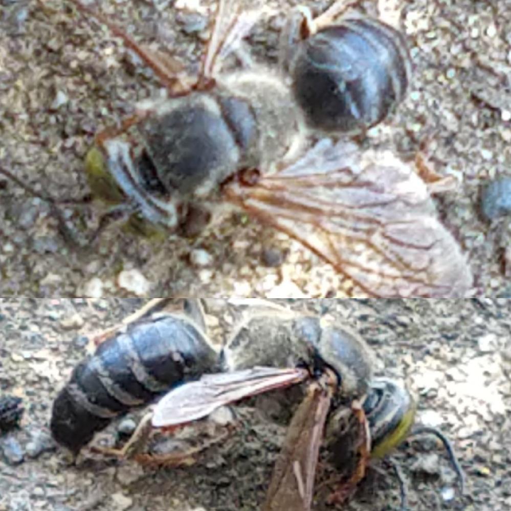 蜂についてです 本日、外出しようとしたら家の前に蜂が何匹か居り、何も知らない人が 刺されたら危ないと思い退治しましたが、また別の蜂がやってきました。 名前は知らないのですが、甘い香りを放つ鉢植え...