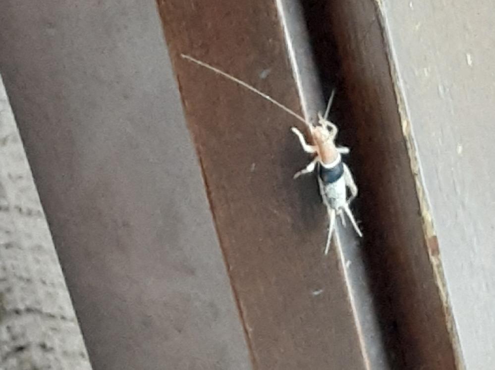 コオロギ?バッタ?これはなんと言う虫でしょうか?? 触覚?が触れるとぴょんぴょんと跳ねます。 玄関にいました!!