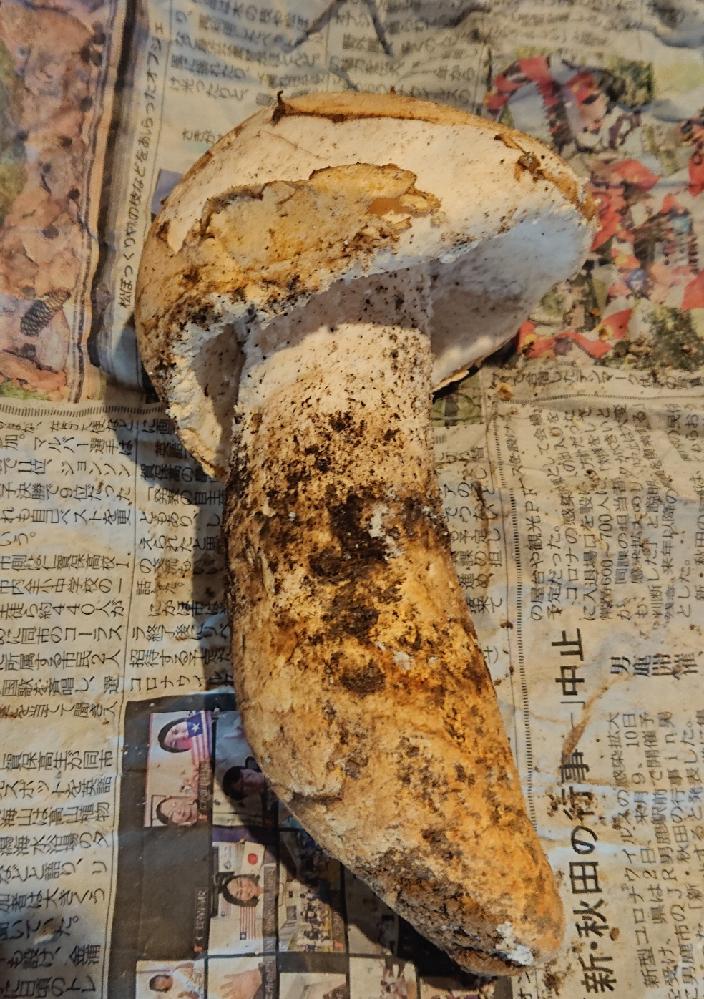 このキノコは何てキノコでしょうか? 20cmぐらいあります。土に埋まってました。