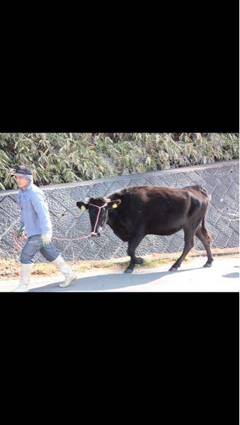 何と言う牛ですか?
