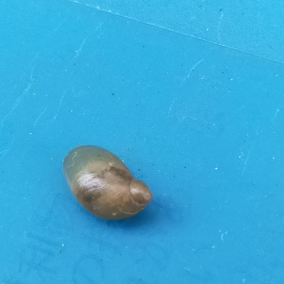 かたつむり?わかるかた、これは何か教えてください。 ゴミストッカーの中におちている、貝殻のようなもの。生きていないのですが。 なんでしょうか??