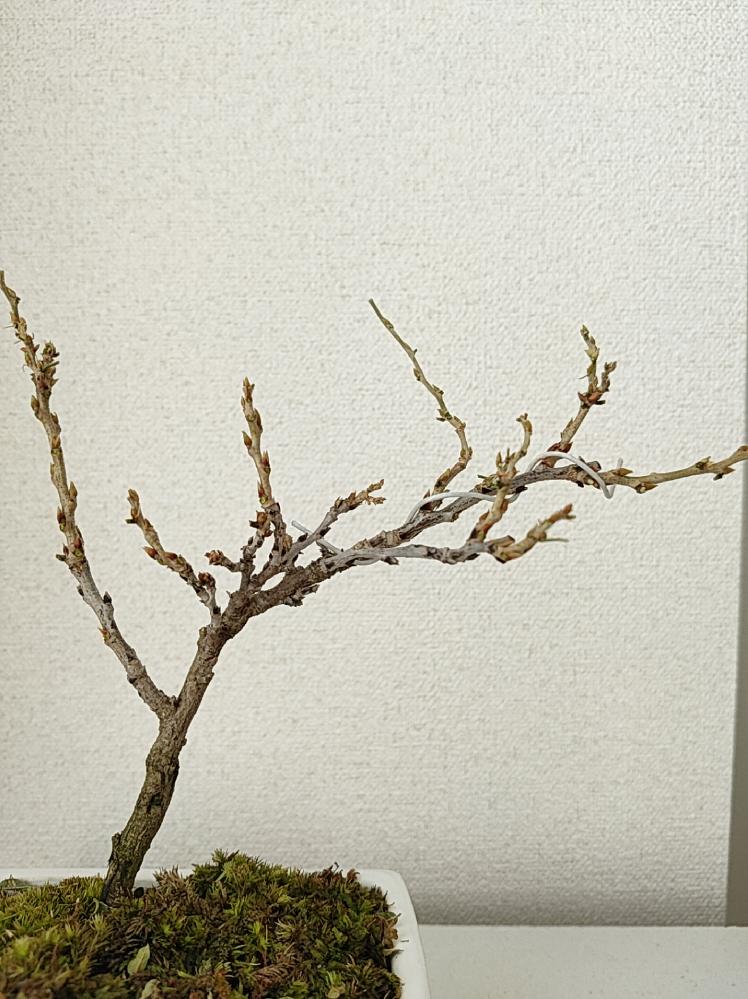 この状態の盆栽はまだいきていますか? 数日前に姫藤のミニ盆栽を買いました。 秋は2日に一回の水やりでOKとのことでしたが、 ちょっと水をやり忘れてしまい、 調べて水につけたりして対処したのです...