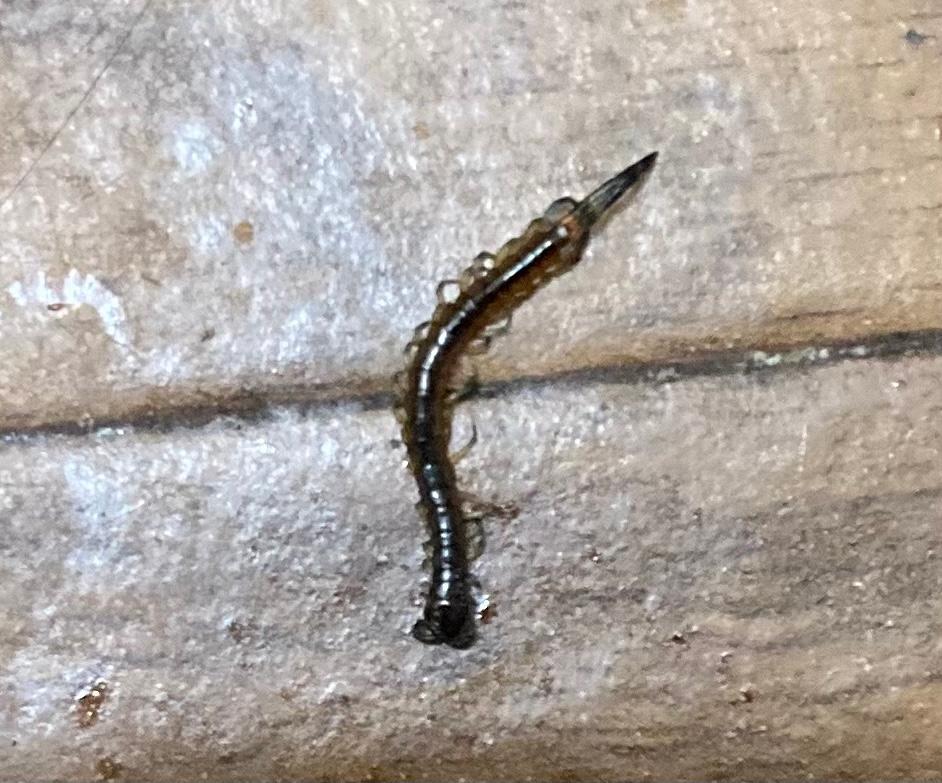 自宅のトイレで3㎝ほどの小さな虫を見つけ、殺虫剤を使い駆除しました。 そこまで素早い動きをしているわけではなかったので、ヤスデかなと思っているのですが、これは何の虫でしょうか?
