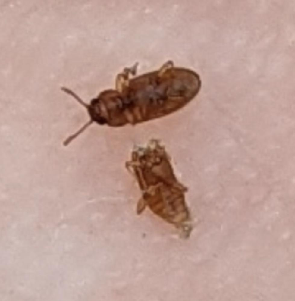 この虫は何でしょうか。 体長は1ミリくらいです。 和室の畳の上を歩いていました。