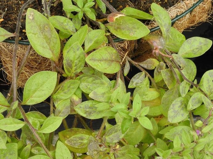 枝垂れペチュニアの葉がだんだん紫色っぽくまだらになっていきます。 これはモザイク病でしょうか?