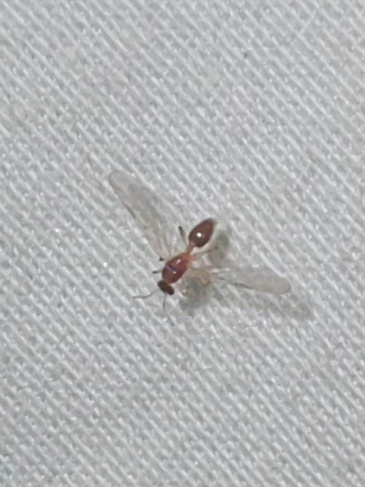 居間のシーリングライトに蚊柱が立つように一気に羽アリのような小さい虫がわきました。3~5ミリ位の大きさです。 殺虫剤で一撃でしたが虫の正体が気になります。 シロアリとかでなければいいのですが… どなたか教えてください!