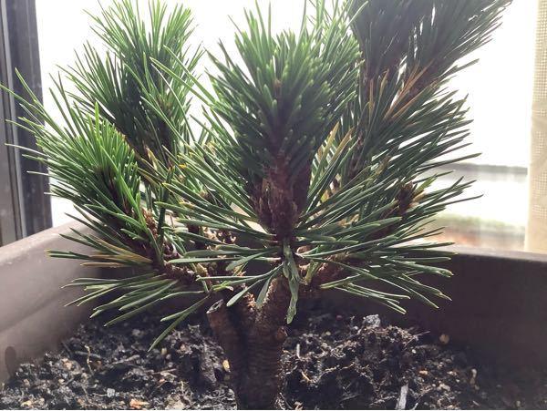 黒松盆栽に関する質問です。 4月から盆栽を始め、5ヶ月になります。 松の葉の一部が黄色(茶色)くなり、枯れるのですが 改善する方法はありますでしょうか。