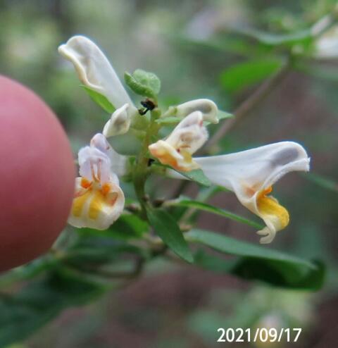 黄色の花の名前を教えてください、 岐阜県遠見山で、 撮影 20210917