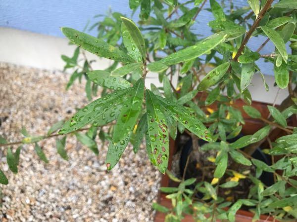 オリーブの木の葉に、黒い斑点のようなものがたくさんあります。 これは何でしょうか?