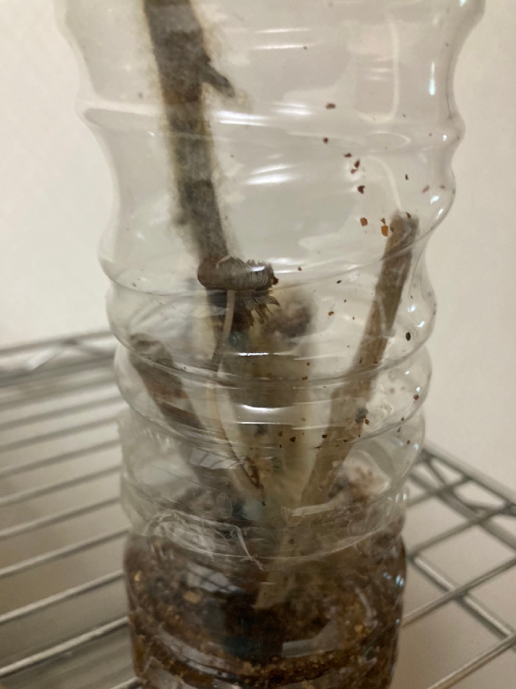 このきのこは何ですか? ペットボトルに木を入れて育てていたのですが放置してしまい、このきのこが生えてきました。元の木にも生えてきたのですがこのきのこは何でしょうか?