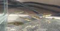 汚い用水路でとってきたのですがこの魚なんですか? 私はモツゴの稚魚だと思うのですが 詳しい方教えてくださればうれしいです。