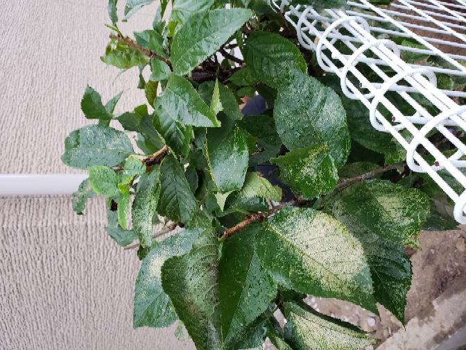 さくらんぼの木です。病気ですか? さくらんぼの木は桜が咲くのですか?