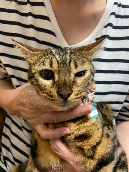 最近夜になるとネコの目が半開きになっています。 明日、動物病院に行こうと思っているのですが参考程度にご意見をいただけないかと思います。 症状: 片目だけ半開きになっている。もう片方の目に比べてまぶたが赤くなっているように感じる。