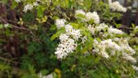 木の名前を教えてほしいです とてもいい匂いがしたので、バッチリわかる方に気の名前を教えていただきたいです。 状況について箇条書きで説明します。 五月ごろ撮影 1メートルほどの高さ 駅の植え込みに植えてあった 白い花 光沢のある葉 甘い匂い  以上です。 色々調べましたがどれもヒットしませんでした。 わかる方よろしくお願いいたします
