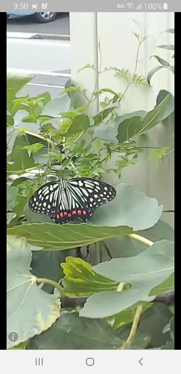 この蝶はアゲハの仲間だと思いますが、なんという種類でしょうか? 足立区綾瀬で撮影しました。