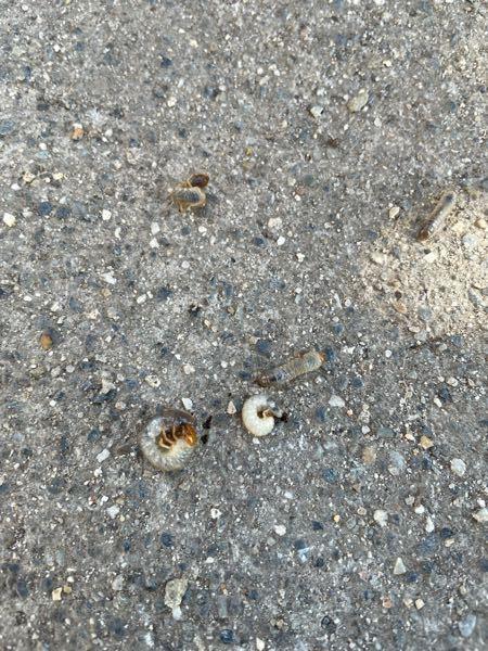 公園の土の中から出てきました。これは何の幼虫ですか?