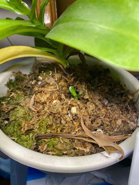 飼育しているウツボカズラの横から小さい芽が出てきました これはウツボカズラの子供ですか?それもと地下茎的なもので繋がっている同個体なのでしょうか またこいつは摘み取るべきですか?