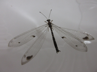 この昆虫の名前を教えて下さい。トンボのようですが長い触覚があるのでトンボでは無いようです。
