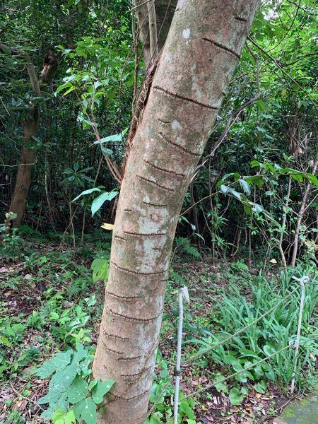 大島のサクラ株の近くにこんな線の入った木がありました。この線はなんなのでしょうか。この種類の木にはこの線が入っているのが当たり前なのですか?そもそもこの木は何という名前の木でしょうか。教えて下さい。