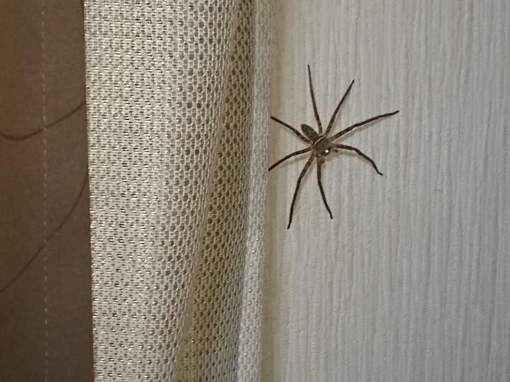 自分の部屋に結構デカいクモが住み着いてます。このクモは夜になると出てきます。何て名前のクモなんでしょうか? 毒などありますか? 別にそんなに苦手じゃないんで毒など無いならそのまま部屋に住んでてもいいと 思ってます。何を食べて生きてるんでしょうか?