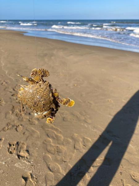 海釣りをしていたら蟹が引っかかりました この蟹の種類はなんですか? 食べられるのでしょうか?